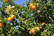 Stock Photo of orange tree with fruits