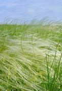 Feather grass Stock Photos