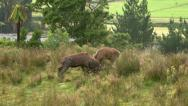 Stock Video Footage of Red deer stags fighting and clashing horns in the rut. GVR-047