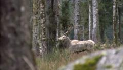 Rare white coloured red deer stag in NZ. Stock Footage