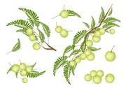 Set of Indian Gooseberry on White Background Stock Illustration