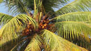 Stock Video Footage of coconut palm under blue sky closeup