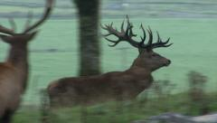 Majestic stag running up hill. Stock Footage