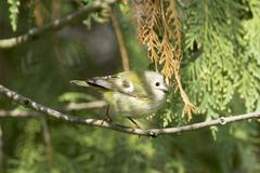 wild goldcrest in natural habitat / Regulus regulus - stock photo