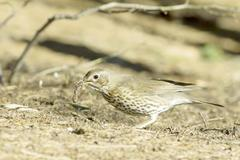 European Song Thrush portrait / Turdus philomelos - stock photo