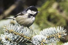 Coal tit (Parus ater) on a fir branch - close up - stock photo