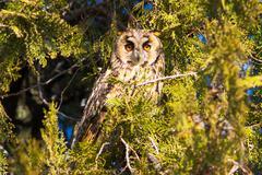 long-eared owl / asio otus - stock photo