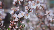 Stock Video Footage of White blooming trees