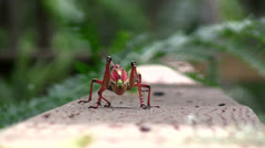 Grasshopper Walk - stock footage