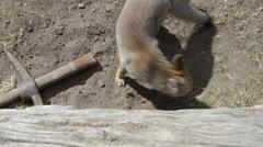 Argentina, Calafate, Gray Fox Dusicyon Griseus Stock Footage