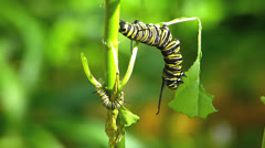 T/L Butterfly monarch caterpillar pupa Danaus plexippus Stock Footage