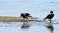 Two Hooded Crow (Corvus cornix) in the water Stock Footage