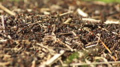 Anthill, red wood ants close-up. Stock Footage