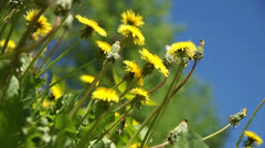 yellow dandelion in a grass - stock footage