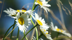 Camomile with a fly sitting on them Stock Footage