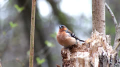 Common Chaffinch - stock footage