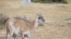 Argentina, Calafate, Young Guanaco Stock Footage