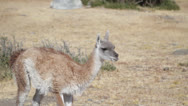Stock Video Footage of Argentina, Calafate, Young Guanaco