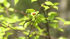 Ladybug sitting on a fresh birch leaves Stock Footage