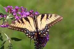 Tiger swallowtail (papilio glaucas) Stock Photos