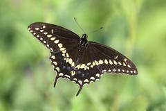 black swallowtail butterfly - stock photo