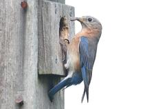Isolated bluebird birdhouse Stock Photos