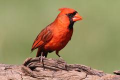 Male cardinal on a log Stock Photos