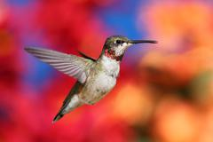 juvenile ruby-throated hummingbird (archilochus colubris) - stock photo