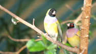 Stock Video Footage of finches sitting on a branch in the forest