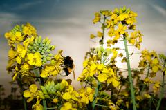 rape field close up with bumble bee - stock photo