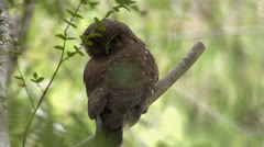 Morepork, New Zealand's native Owl on branch looking at camera. Stock Footage