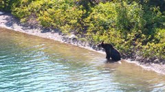 Grizzly Bear Cubs Glacier Park Stock Footage