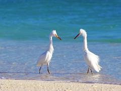 herons courting - stock photo