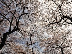 Cherry tree canopies in bloom Stock Photos