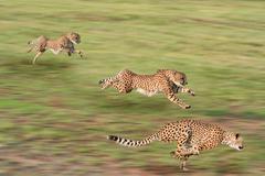 Cheetah Hunt Stock Photos
