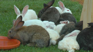Stock Video Footage of Rabbits on the farm