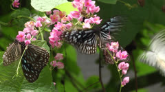 Group of butterfly dancing on flower - stock footage