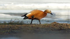 Ruddy Shelduck is gradually disappearing from the frame Stock Footage