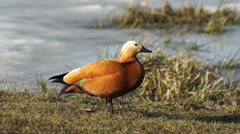Ruddy Shelduck basking in the evening sun Stock Footage