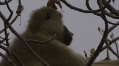 Adult Savanna Baboon sitting in tree in Niassa Reserve, Mozambique. Stock Footage