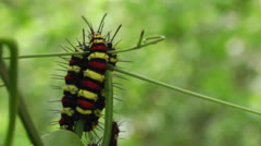 Caterpillars family together Close up Stock Footage