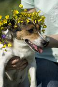Dog wearing a wreath of flowers Stock Photos