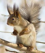 Squirrel standing on hind smell Stock Photos