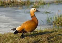 Ruddy Shelduck on a grass - stock photo