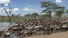 Herd of wildebeest and zebras resting at the river, Serengeti, Tanzania - stock footage