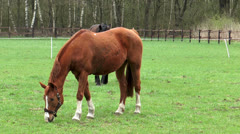 horses grazing on meadow - stock footage