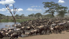 Herd of wildebeest and zebras resting at the river, Serengeti, Tanzania Stock Footage