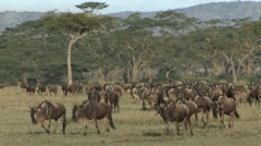 Herd of wildebeest migrating in Serengeti, Tanzania Stock Footage