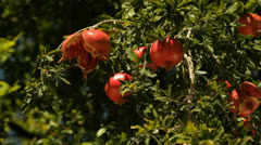 Pomegranate under sunlight - stock footage