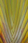 banana leaves cascaded like a blow background texture - stock photo